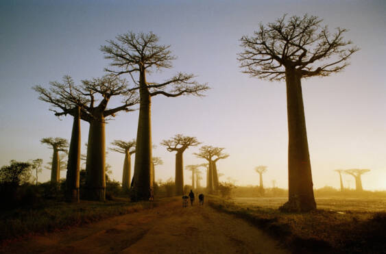 Madagascar, Morondava, road through Boab Trees