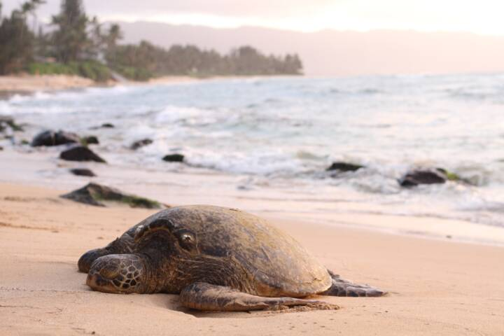 Turtle Resting on Puerto Rican Beach